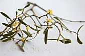 A sprig of mistletoe on a white surface
