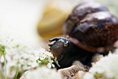 A snail with field chervil