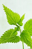 Stinging nettles (close-up)