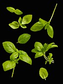 Basil on a black surface