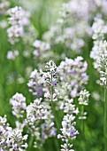 White lavender (lavandula angustifolia alba)