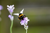 A bumblebee on a lavender flower