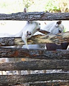 Goats behind a wooden fence