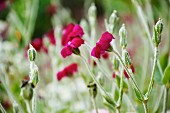 Red carnations in a garden