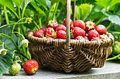 A small wicker basket of freshly harvested strawberries in a garden