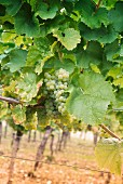 Riesling grapes between vine leaves