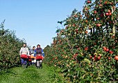 Apple pickers in an orchard