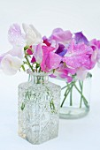 Purple and white sweet peas (Lathyrus odoratus) in glass vases