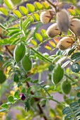 Chickpeas on a plant in a garden