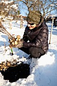 A man harvesting Jerusalem artichokes in winter