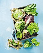 Various types of lettuce in and next to a wooden crate (seen from above)
