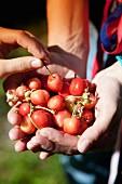 Hands holding sweet cherries