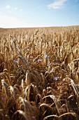 Cornflowers in a field of rye