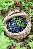 Forest blueberries in a basket