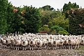 Coopworth sheep in a farmyard (Canterbury, New Zealand)