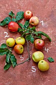 Five types of apples – 1 Royal Gala, 2 Evelina, 3 Cox Orange, 4 Braeburn, 5 Jonagold