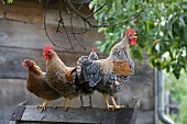 Hens and crowing cockerel perched on wooden frame in country setting