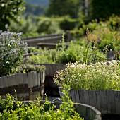 A herb garden at the restaurant Saziani Stub'n, Styria, Austria