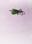 A bunch of herbs and a pair of scissors on a purple surface