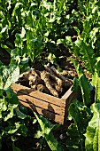 Freshly harvested horseradish in a wooden crate in a field