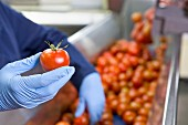 Quality control of tomatoes on a production line in a factory
