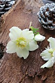 Original Christmas arrangement of white hellebores, silver-sprayed pine cones and glitter on bark