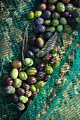 Black and green olives in a harvesting net