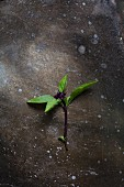 A sprig of Thai basil