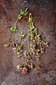 Fresh sprigs of oregano with flowers on a metal surface