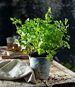 Leaf celery in a flowerpot