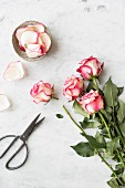 Bunch of pink and white roses, one with a cut stem, rose petals in a bowl and scissors on a white and grey marble surface