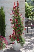 rote stangen als rankhilfe f r kletterpflanze einbetonieren 6 10 bild kaufen friedrich. Black Bedroom Furniture Sets. Home Design Ideas