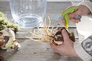 amaryllis in glas mit moos und zapfen antreiben bild. Black Bedroom Furniture Sets. Home Design Ideas