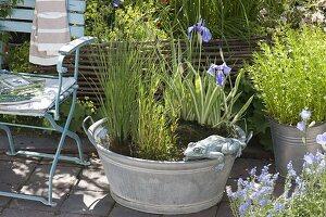 zinkwanne mit sumpfpflanzen als mini teich bild kaufen friedrich strauss gartenbildagentur. Black Bedroom Furniture Sets. Home Design Ideas