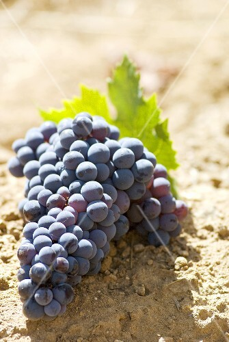 Castelao grapes on soil