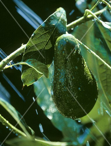 A Fresh Avocado on the Tree; Water Spray