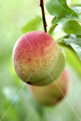 A peach on the tree