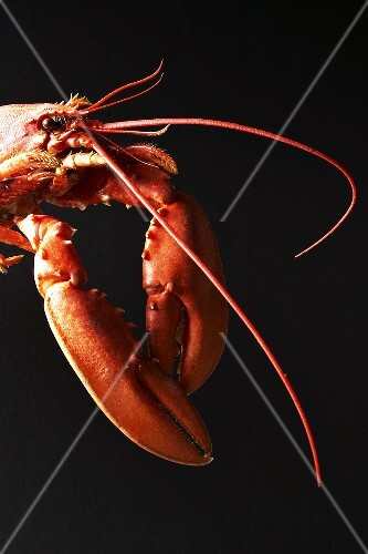 Cooked lobster against black background