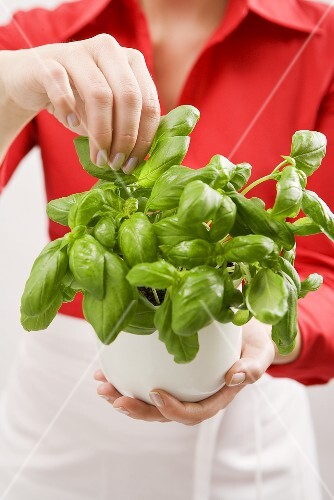 Woman holding pot of fresh basil