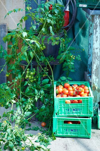 Freshly harvested tomatoes in plastic crates
