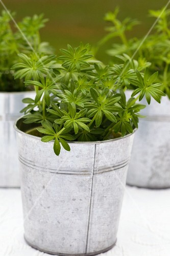 Fresh woodruff in zinc pots