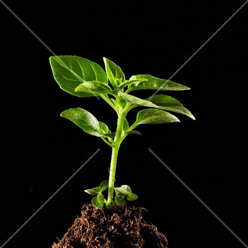A basil plant growing out of a pile of soil