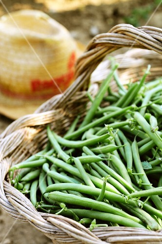 A basket of freshly harvested green beans