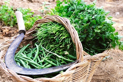 Freshly harvested green beans and parsley in a basket in the field
