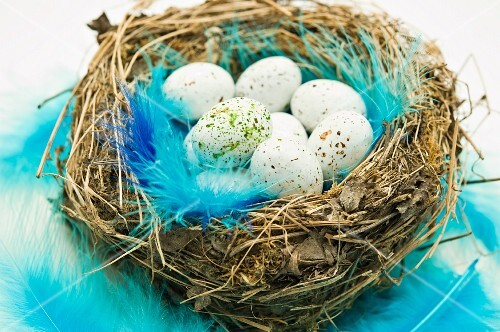 Chocolate Easter eggs and blue feathers in an Easter nest
