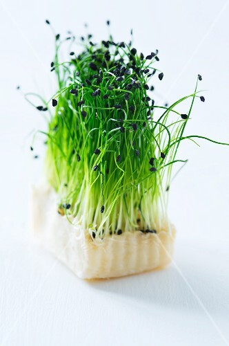 Rock chive sprouts