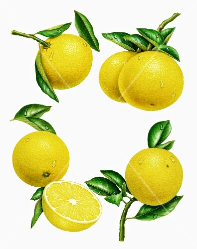 A circle of yellow grapefruits with leaves (illustration)