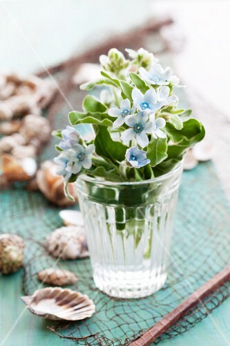 Tweedia (Oxypetalum caeruleum) and seashells