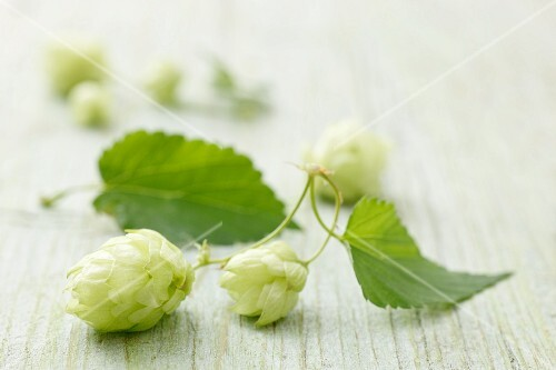 Hops sprouts on a wooden surface