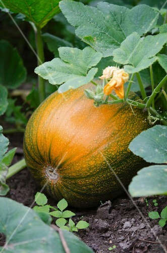 A pumpkin on a plant with a flower
